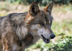 Verdacht auf Wolfsriss in Frankenau